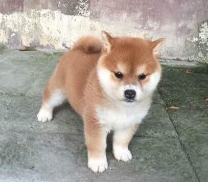 小柴犬多少钱一只,柴犬是一种什么样的狗,价格是怎么样的呢?