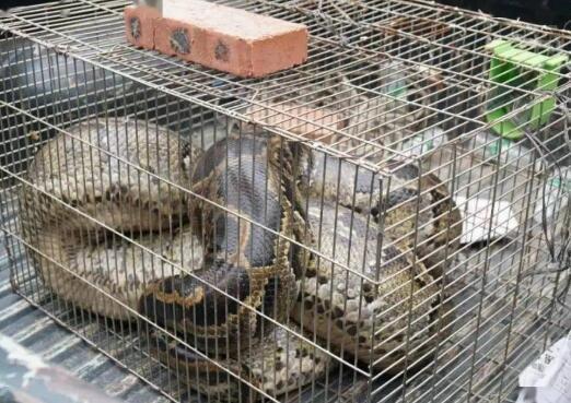 广西一养鸡场现57公斤大蟒蛇有毒吗,蟒蛇是国家保护动物吗,遇到蟒蛇该怎么自救
