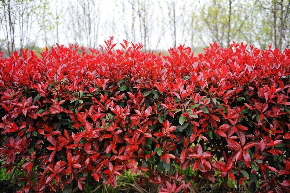 红叶石楠扦插最佳时间是什么时候,如何提高红叶石楠的存活率?