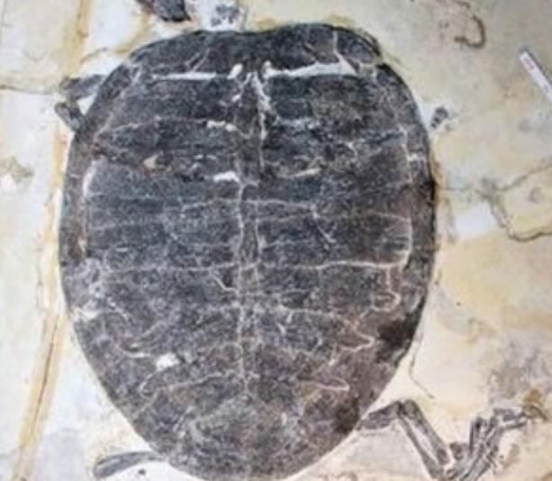 距今7千万年!西班牙现恐龙时代龟化石!