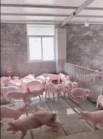 这猪看着好清秀啊