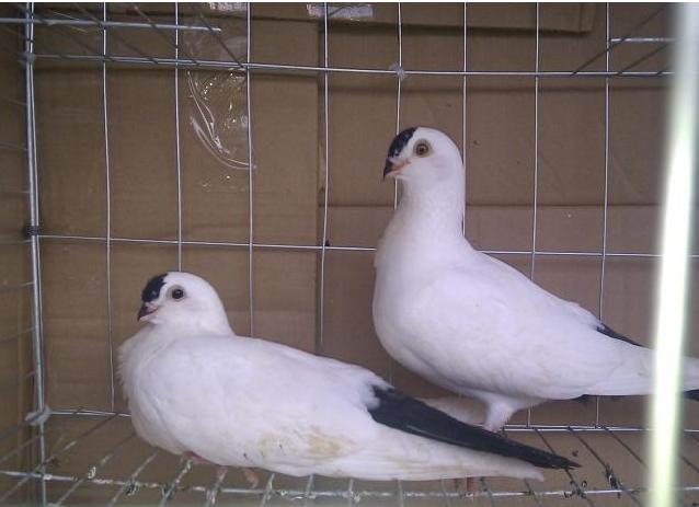 肉食鴿養殖.png