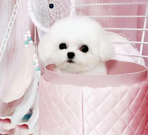 迷你茶杯犬多少錢一隻,小型犬種有哪些