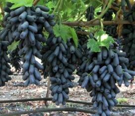 購買葡萄苗後什麼時候種植最好,種植過程中需要注意些什麼?