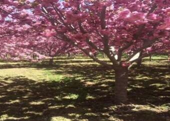櫻花樹價格多少錢一株?櫻花樹價格是什麼決定的呢?
