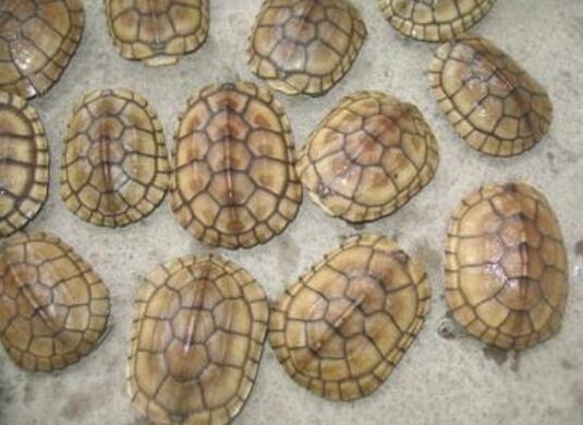 金龟的养殖怎么样,什么样的环境适合养殖金龟?