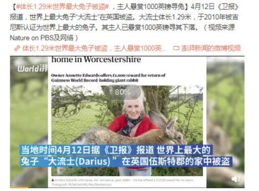体长1.29米世界最大兔子被盗,主人悬赏1000英镑寻兔