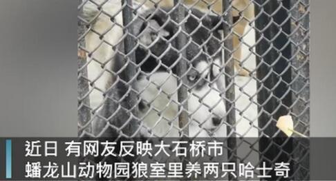 动物园回应狼圈养哈士奇,称其是收养的,还和狼生了个串,网友评论亮了
