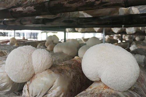 猴头菇价格是多少钱,猴头菇有什么功效和作用?