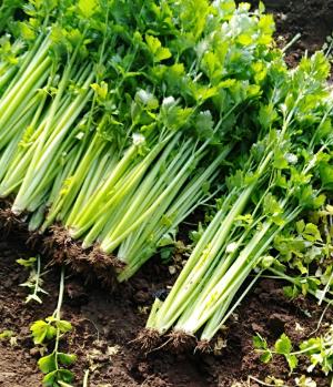 芹菜如何生长