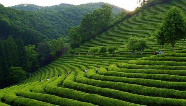 如何卖茶叶?要想茶叶卖得好就要先把这几点搞明白了