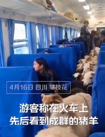 画面太可爱!四川一火车上有猪羊成群穿行,网友:买票了吗