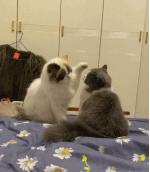 两只猫咪一台戏