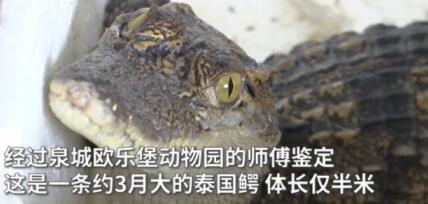 网购小鱼却收到暹罗鳄,能长到3米多!网友:发错货了?