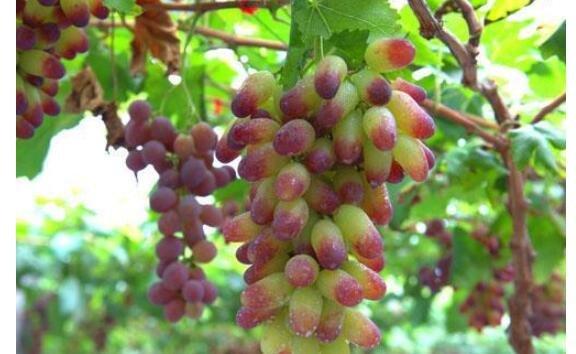 马奶子葡萄在种植的时候要注意些什么{英超冠军投注主词}{英超冠军投注主词}?马奶子葡萄种植这些不可马虎