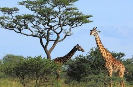 """摩臣2平台长颈鹿有多高,这个长颈鹿竟然因为身高太高,至今是""""光棍""""?"""