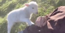 超治愈的小羊羔