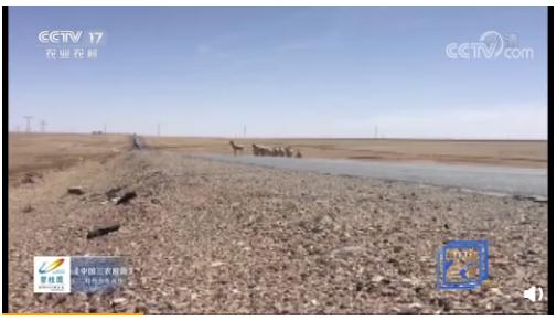 可可西里迎来今年首批藏羚羊迁徙从哪迁到哪,迁徙要多久,藏羚羊的迁徙方式是什么