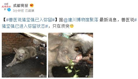 兽医称猪坚强已入弥留,猪坚强活了多少岁?为什么叫猪坚强?猪坚强资料简介