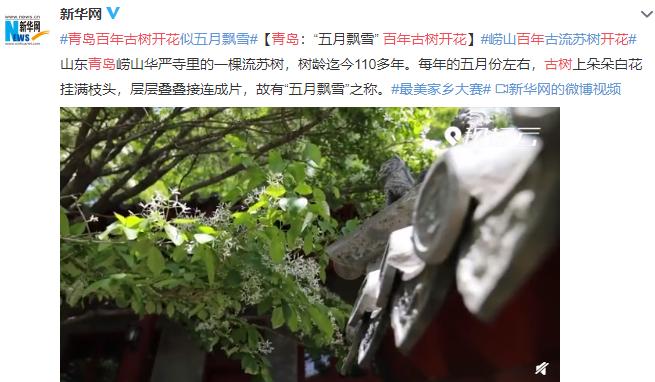 青岛百年古树开花是怎样的场景,古树茶到底有什么价值