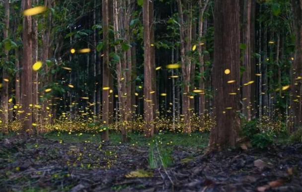 西双版纳萤火虫进入最佳观赏期是几月,萤火虫为什么会发光,萤火虫分为哪几类