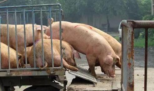 大学生毕业去养猪年薪18万你愿意去吗,大学生养猪有什么优势,养猪的上市公司一览