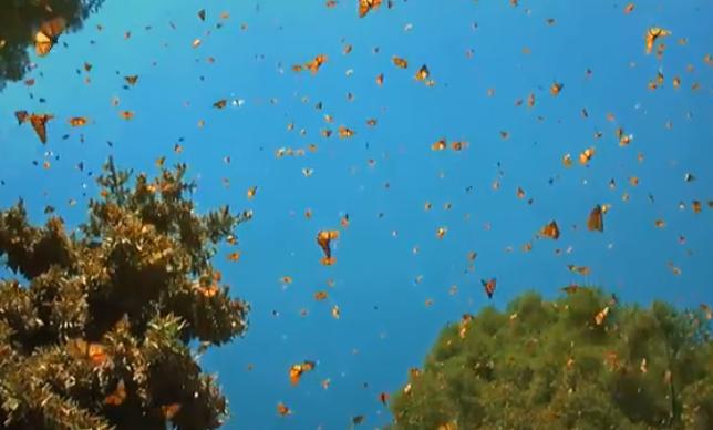 云南1.5亿只蝴蝶宝宝羽化成蝶是怎样的景象,蝴蝶和飞蛾怎么分,蝴蝶是益虫还是害虫