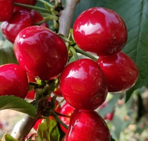 全国近7成樱桃来自山东烟台,山东烟台的樱桃有哪些品种,为什么樱桃价格那么贵