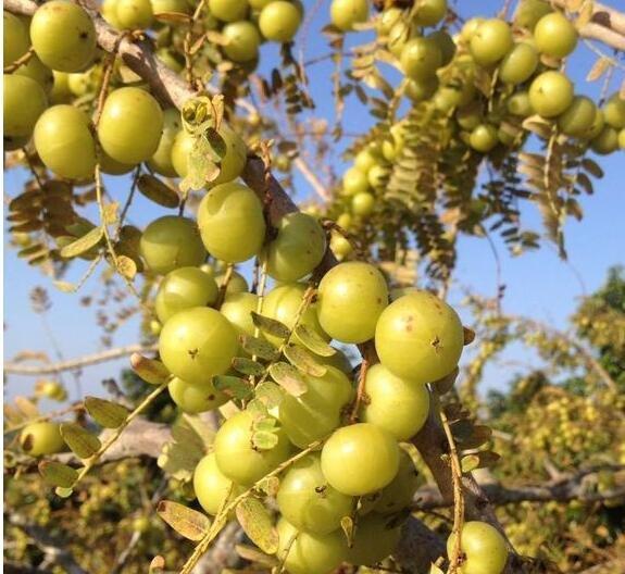 油柑价格飙涨数十倍,油柑价格上涨带动了哪些产业,为什么油柑在茶饮店爆火