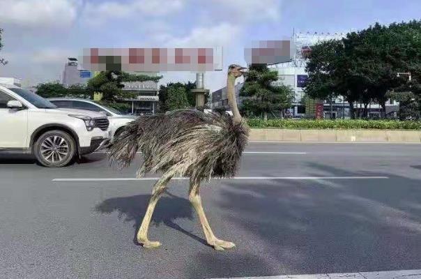 街头惊现巨大鸵鸟 与汽车抢车道 网友:你也要赶早高峰