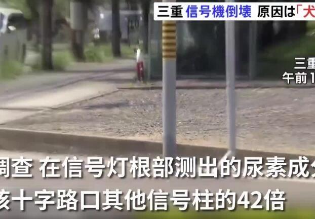 因狗尿腐蚀6米高交通信号灯柱倒塌 网友:水滴石穿 尿断电杆
