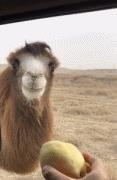 这骆驼长得眉清目秀的