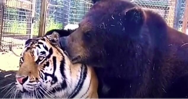 狗熊吹牛翻车现场之别人撸猫,我撸老虎!