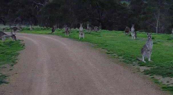 澳大利亚男子骑车穿过公园时引起众多袋鼠集体注视 场面凝重可怕