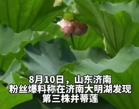 济南大明湖发现第3株并蒂莲:此前一株被偷一株被24小时看护