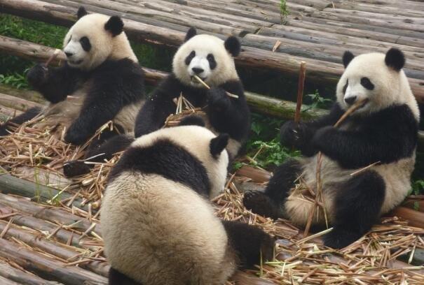 成都一大熊猫因长相潦草走红 网友:梳了两条冲天辫?