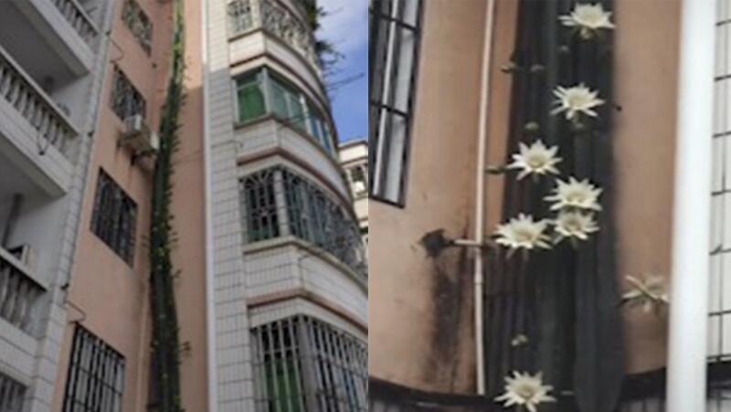 小区业主在楼外种植6层楼高量天尺