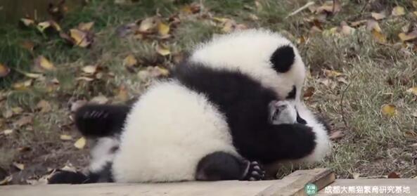 大熊猫宝宝被按住狂亲 视频引网友围观:真是萌翻了