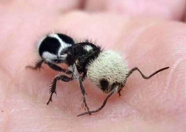 """卡娃伊""""熊猫蚁""""竟是有刺小毒蜂"""