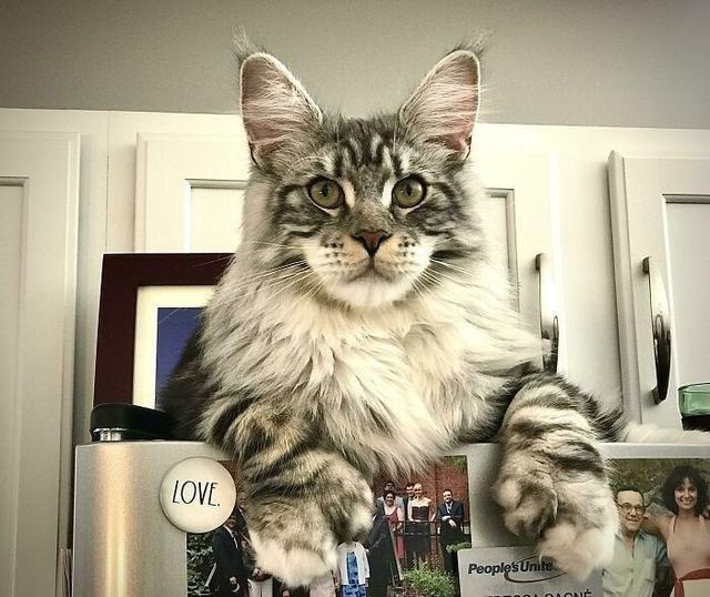 养猫还是养猪?网友晒自家的巨型猫咪们