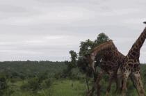 长颈鹿是如何打架的