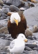 老鹰一走起路就不可怕了