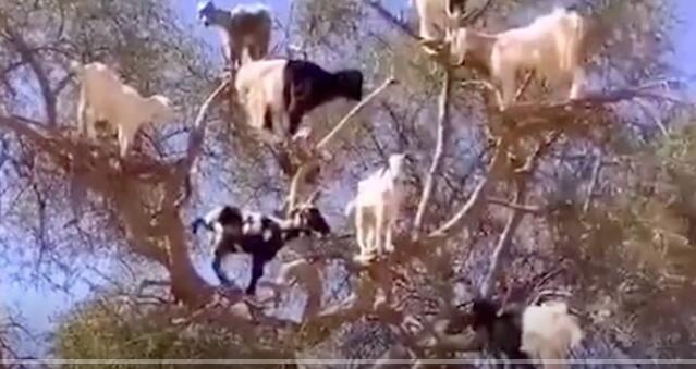 """这才是真正的""""羊树""""啊"""