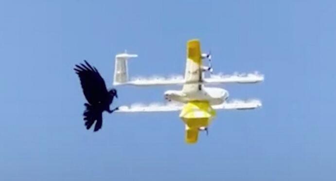 因频繁遭到乌鸦攻击 澳大利亚一公司暂停无人机快递服务