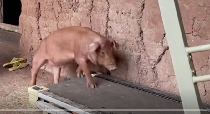 猪:这回必须减肥了 要不下一个就是我了