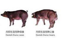 000735羅牛山種豬3