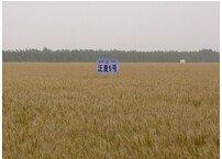 600316農發種業泛麥5號