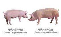 000735羅牛山種豬2