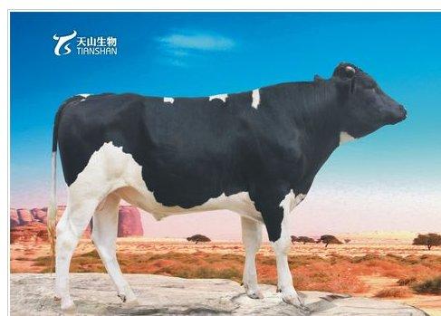 300313天山生物奶牛