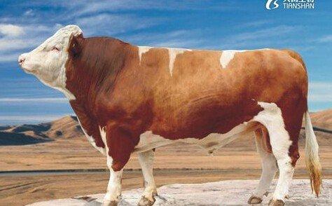 300313天山生物牛
